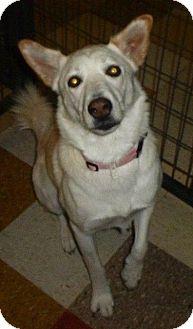 Husky/Labrador Retriever Mix Dog for adoption in Colorado Springs, Colorado - Schatzi