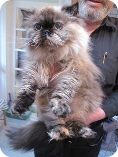 Himalayan Cat for adoption in Davis, California - Padi and Sita