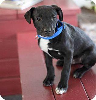 Labrador Retriever Mix Puppy for adoption in Clovis, New Mexico - Rhett