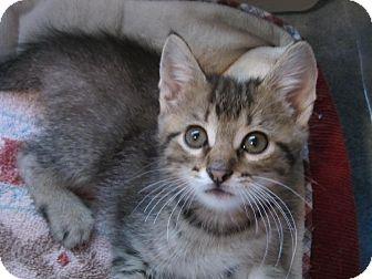 Domestic Shorthair Kitten for adoption in Des Moines, Iowa - Freddie