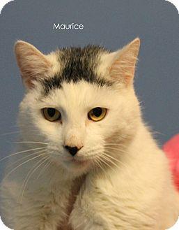 Domestic Shorthair Cat for adoption in Hibbing, Minnesota - Maurice