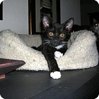 Adopt A Pet :: Mittens - Chandler, AZ