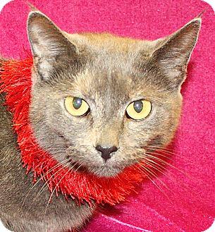 Calico Cat for adoption in Jackson, Michigan - Sarah