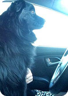 Papillon/Labrador Retriever Mix Puppy for adoption in Huntersville, North Carolina - Tucker