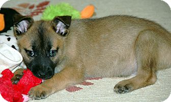 Shepherd (Unknown Type) Mix Puppy for adoption in Bedford, Virginia - Barlow