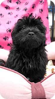 Poodle (Standard) Mix Puppy for adoption in Montclair, California - Carson