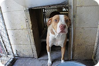 Boxer/Pit Bull Terrier Mix Dog for adoption in Henderson, North Carolina - Tab