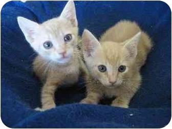 Oriental Kitten for adoption in Davis, California - Nick & Nate