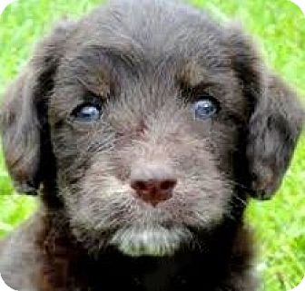 """Labradoodle Puppy for adoption in Wakefield, Rhode Island - BRADY(OUR """"LABRADOODLE"""" PUPPY!"""