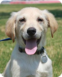 Retriever (Unknown Type)/Labrador Retriever Mix Puppy for adoption in McKinney, Texas - Carli