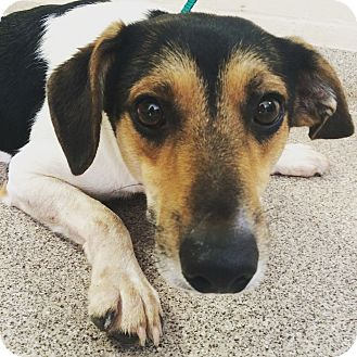 Beagle/Terrier (Unknown Type, Small) Mix Dog for adoption in Troy, Ohio - Charlie