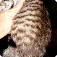 Adopt A Pet :: Mintini - Dallas, TX
