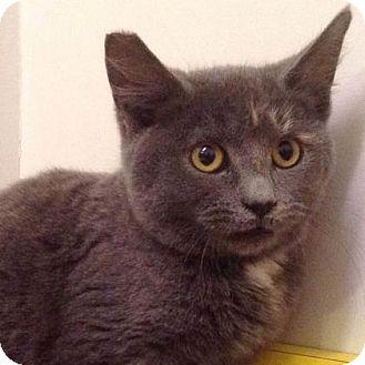 Domestic Shorthair Kitten for adoption in Brimfield, Massachusetts - Crackers