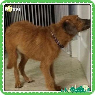 Terrier (Unknown Type, Medium)/Dachshund Mix Puppy for adoption in Brick, New Jersey - Wilma