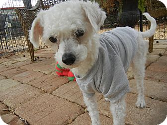 Poodle (Miniature) Mix Dog for adoption in Houston, Texas - Snoopy