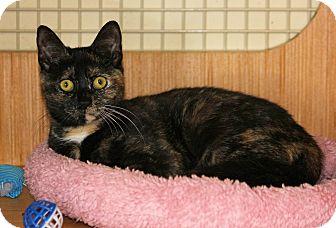 Domestic Shorthair Kitten for adoption in Waterbury, Connecticut - Roxy, Kitten