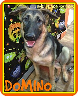 German Shepherd Dog Dog for adoption in Manchester, New Hampshire - DOMINO