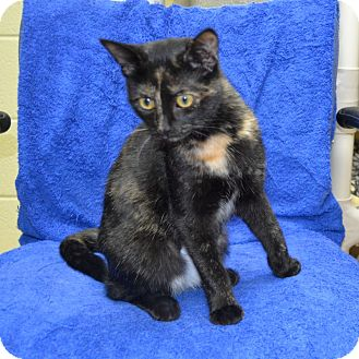 Domestic Shorthair Cat for adoption in Wheaton, Illinois - Lorenza