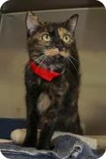 American Shorthair Cat for adoption in Englewood, Florida - Demi