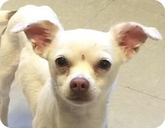 Chihuahua Mix Puppy for adoption in Brattleboro, Vermont - Weasel