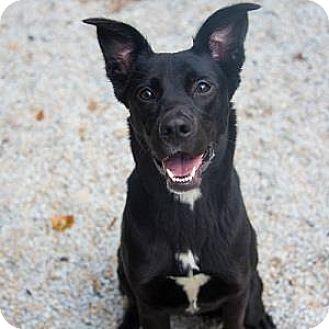 German Shepherd Dog/Labrador Retriever Mix Dog for adoption in Decatur, Georgia - PIPER