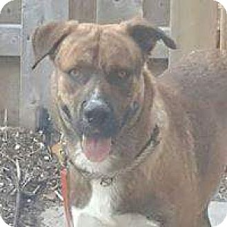 Shepherd (Unknown Type) Mix Dog for adoption in Mount Hope, Ontario - Sonny