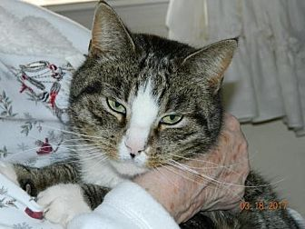 Domestic Shorthair Cat for adoption in Spring Grove, Pennsylvania - Alley (courtesy posting)