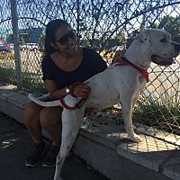 American Bulldog Mix Dog for adoption in Beverly Hills, California - Elliot