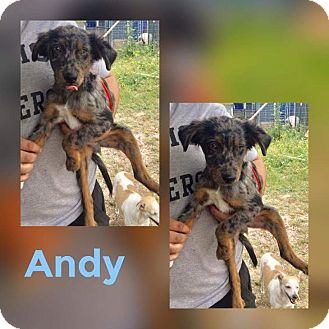 Australian Shepherd Mix Puppy for adoption in Mesa, Arizona - ANDY