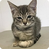 Adopt A Pet :: Dove - Orleans, VT