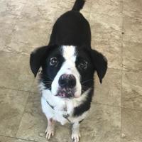 Adopt A Pet :: Chloe 8 - Chicago, IL