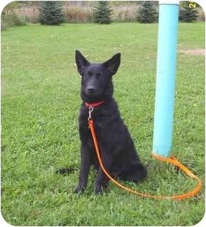 Belgian Shepherd/Shepherd (Unknown Type) Mix Dog for adoption in Austin, Minnesota - Bristol