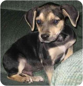Basset Hound/Beagle Mix Puppy for adoption in Fenton, Missouri - PAL