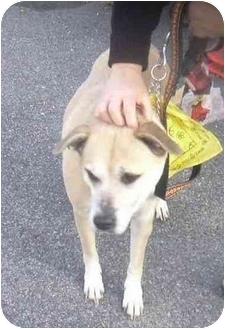 Boxer/Labrador Retriever Mix Dog for adoption in West Warwick, Rhode Island - Gigi