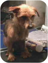 Yorkie, Yorkshire Terrier Dog for adoption in PRINCETON, New Jersey - Ida