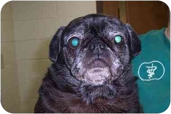 Pug Dog for adoption in Terre Haute, Indiana - Sugar