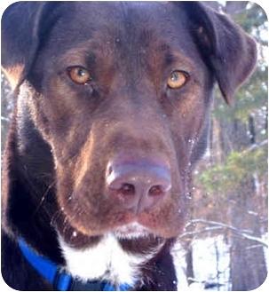 Doberman Pinscher/Labrador Retriever Mix Dog for adoption in Jacksonville, Florida - Dobie Brown