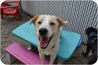 Labrador Retriever Mix Dog for adoption in West Hartford, Connecticut - Landon in CT