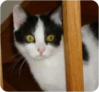Domestic Shorthair Cat for adoption in Port Republic, Maryland - Gabby