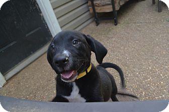 Labrador Retriever Mix Puppy for adoption in Nashville, Tennessee - Bob