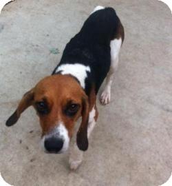 Beagle Dog for adoption in Columbus, Georgia - Rizza 6903