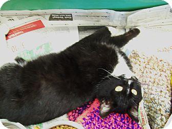Domestic Shorthair Cat for adoption in Walnut, Iowa - Benjamin