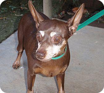 Miniature Pinscher/Chihuahua Mix Dog for adoption in Corona, California - Bella