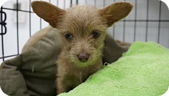 Chihuahua Mix Puppy for adoption in Houston, Texas - Westley