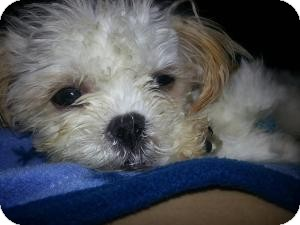 Maltese Mix Dog for adoption in Saskatoon, Saskatchewan - Shaggy