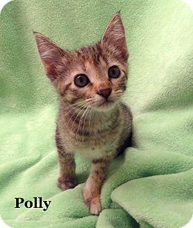 Domestic Shorthair Kitten for adoption in Bentonville, Arkansas - Polly