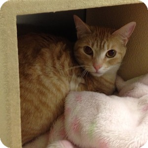 Domestic Shorthair Cat for adoption in Gilbert, Arizona - Max