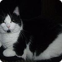 Domestic Shorthair Cat for adoption in Cambridge, Ontario - Clara