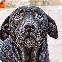 Adopt A Pet :: IGGY! - Charlotte, MI