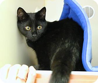 Domestic Shorthair Kitten for adoption in Gloucester, Massachusetts - BooBoo Kitty
